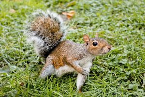 Squirrel by Thoesoe