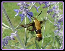 The Hummingbird Moth by Jedi-With-Wings