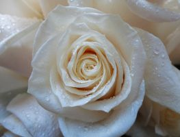 White rose by WhatIdo4fun