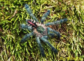 Avicularia diversipes I by TiogaWhiteTiger