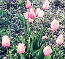 Pink Tulips by JDM4CHRIST