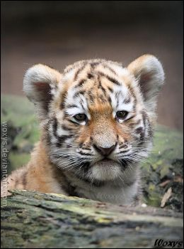 Baby tiger: this new world is SO big! by woxys