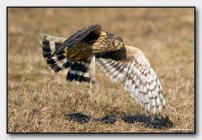 Hen harrier in the hunting by midoohan