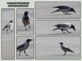 6 photos of one crow by ringonoki