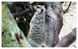 Compare The Meerkat by amyjls