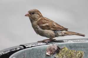 Urban Sparrow by joanniegoulet