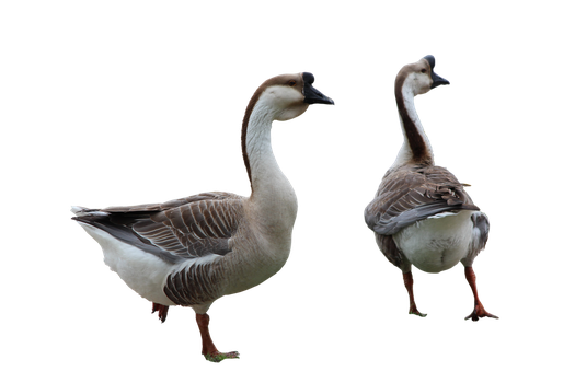 Sociable Geese by Nolamom3507
