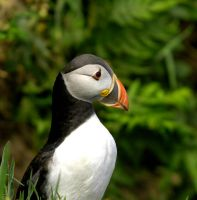 Puffin4 by shaunthorpe