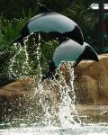 Commerson's Dolphins by crasher35