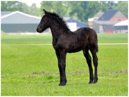 Friesian Foal by KonikPolski