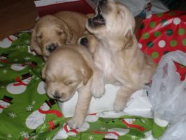 Christmas PUPPIES by saaio