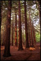 Redwood Forest by Hitomii