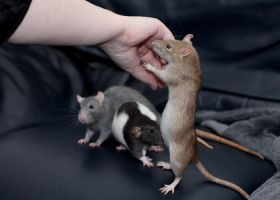 Attention seeking ratties by stphq