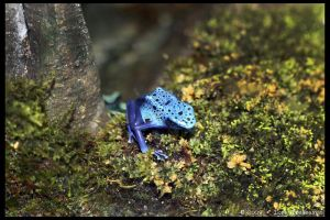 Blue Poison Frog 2 by Vamppy