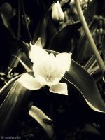tulipan by anddy24