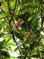 Red-billed Leiothrix by joeyartist