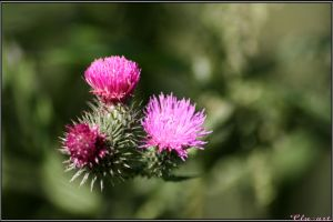 Triplet of Thistle Blossoms by Clu-art