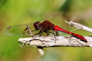 Dragonfly at rest by Coigach