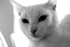 cat in black and white six by bobbyfufu