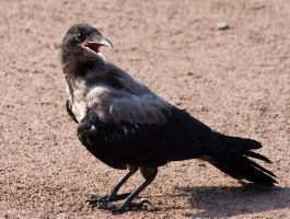 Taken today 30 - Hot Crow by TomiTapio