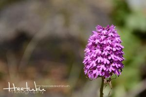 Orchis Pyramidal by Heetuku