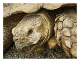African Spurred Tortoise by MBORANGER
