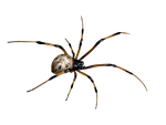 spider png by camelfobia
