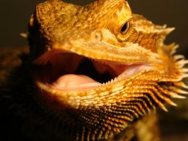 Claire Bearded Dragon Grinning Teeth by thebizzeebee