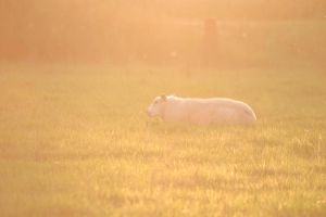 Sheep in the sunlight by dirkbenedict28