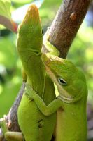 Green Anoles Mating by 1ASP1