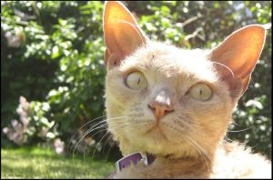 Devon Rex-Picture Perfect by Kitchiki