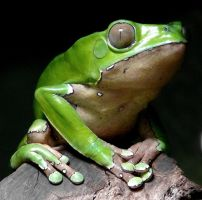 Green Frog by thesa-v