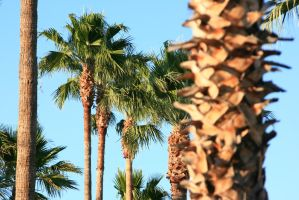 Palm trees next to the pool by Dr-J-Zoidberg