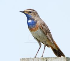 Feeling Blue - Bluethroat by Jamie-MacArthur