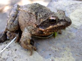 Frog2 by KTVL-resources