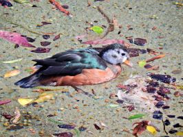 The Detroit Zoo - African Pygmy Goose by GrandeChartreuse