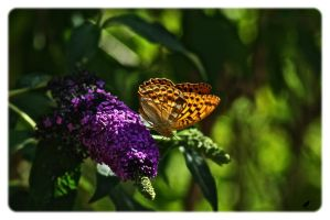 Buddleia and butterfly by jennystokes