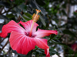 Rose Hibiscus Bloom by Mogrianne