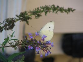 Cabbage White Butterfly by viperxmns