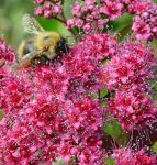 June Bee by Forestina-Fotos