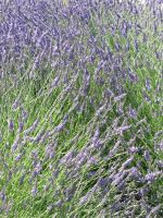 Lavender field stock by thiselectricheart