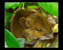 Little Spring Mouse by Forestina-Fotos