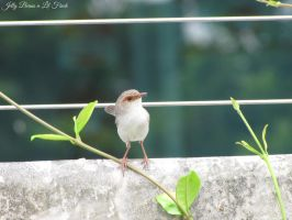 Superb Fairywren 1 by Jellybeansnlilfinch