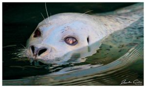 Wild Canadian Seal stelth by jaydoncabe