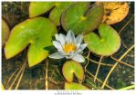 Water Lily by stetre76