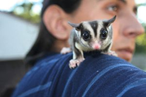 Sugar Glider by lbarbick