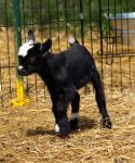Baby Goats 3 by Dracoart-Stock