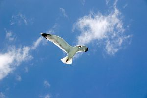 Seagull 01 by mordoc-stock