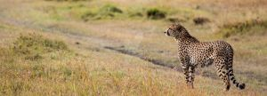 Cheetah Stroll by thildemar