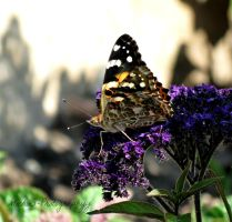 Butterfly on Purple by Michies-Photographyy